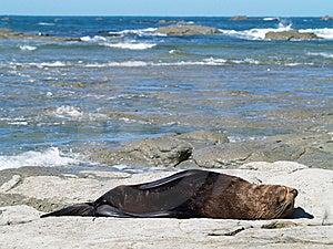 Australasian Fur Seals (Arctocephalus Forsteri) Stock Image - Image: 8987061