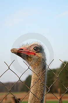 Ostriches Farm Stock Images - Image: 8987114
