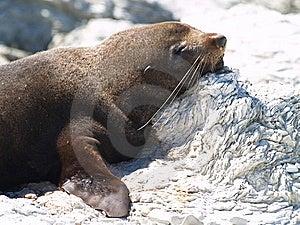 Australasian Fur Seal (Arctocephalus Forsteri) Stock Photography - Image: 8987252