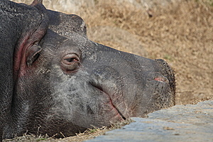 Hippopotamus Royalty Free Stock Photos - Image: 8989768