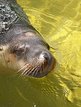 Seal At The Zoo Royalty Free Stock Images - Image: 8990279