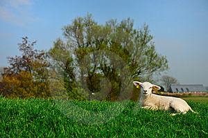 Cute Lamb In Spring Royalty Free Stock Photography - Image: 8992357