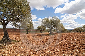 An Olive Field Stock Image - Image: 8998021