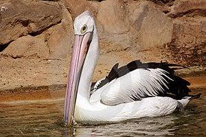 Pelican Free Stock Photo