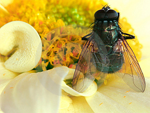 The Fly Free Stock Photography