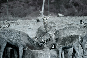 Cervos Fotografia de Stock