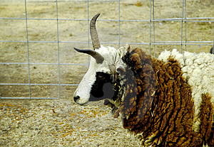 Sheep With Horns 2 Stock Photo