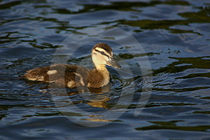 Duckling Free Stock Photo