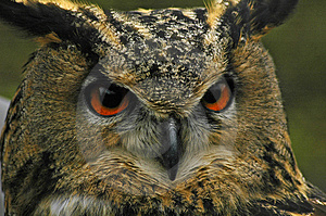 Eagle Owl Free Stock Photo