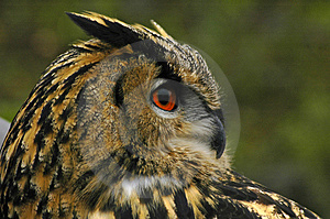 Eagle Owl Free Stock Image