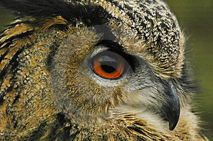 Eagle Owl 3 Free Stock Photography