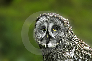 Grand Grey Owl Photos libres de droits