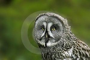 Groot Grey Owl Royalty-vrije Stock Foto's