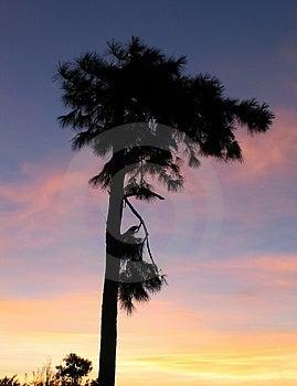 Silhouette de Filao Photo stock
