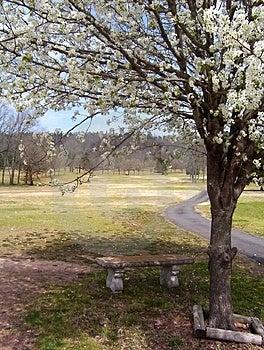 开花的洋梨树在春天 库存图片