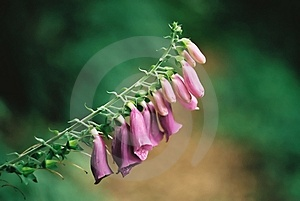 Foxglove ( Digitalis Purpurea ) Stock Photos