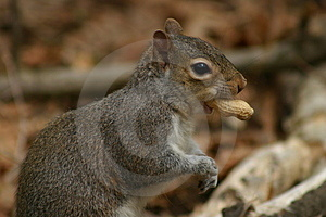 Squirrel With Peanut Stock Photography