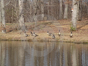 Geese Free Stock Images
