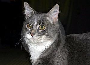 Gray Kitty Free Stock Photo