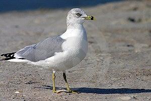 Sea Gull Stock Photo