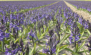 Hyacinth Free Stock Photos