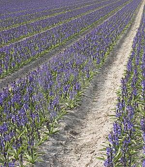 Dutch Flower Stock Image