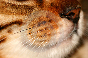 Whiskers Free Stock Photo