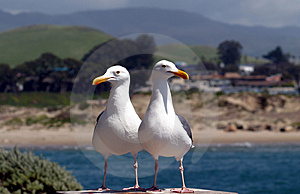 Two Seagulls Searching for Food Royalty Free Stock Photos