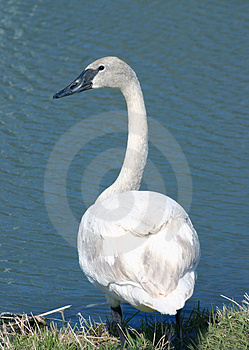 Swan by a Pond Royalty Free Stock Images