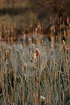 Nature: Cattails Stock Photography