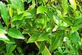 Magnolia bush Royalty Free Stock Images