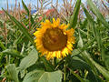Sunflower 5 Stock Images