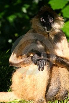 La Scimmia Osserva In Ombra Fotografia Stock Libera da Diritti - Immagine: 901645