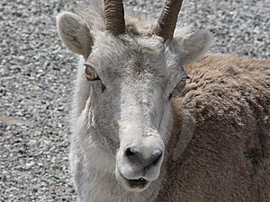 Stone Mountain Sheep. Royalty Free Stock Images - Image: 905669