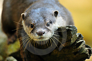Oriental Small-clawed Otter Royalty Free Stock Photography - Image: 9007257