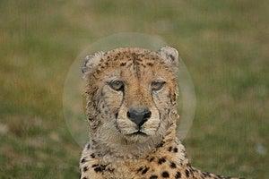 Gepard Obrazy Stock - Obraz: 9008974