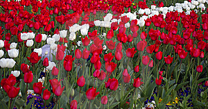 Red And White Tulips Stock Photography - Image: 9012002
