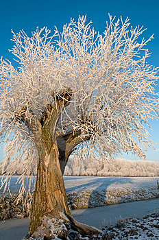 Willow Tree In Hoarfrost Stock Photo - Image: 9016500