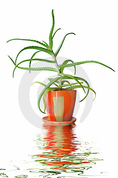 Aloe Vera Royalty Free Stock Photo - Image: 9019145