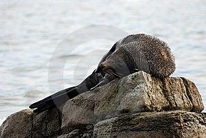 Fur Seal Royalty Free Stock Photos - Image: 9024658