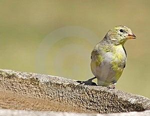 Female Goldfinch Royalty Free Stock Photo - Image: 9025115