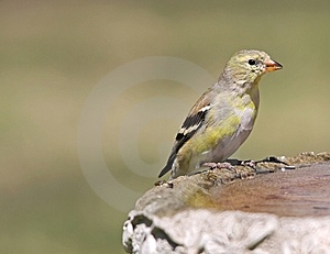 Female Goldfinch Stock Photography - Image: 9025162