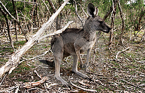 Kangaroo Stock Photo - Image: 9025720