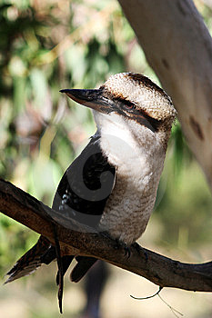 Kookaburra Royalty Free Stock Images - Image: 9025779