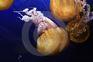 Sea Nettle Jelly Fish Royalty Free Stock Photography - Image: 9025967