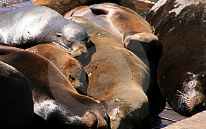 Sea Lions Royalty Free Stock Images - Image: 9025969