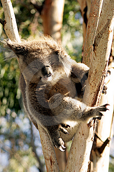 Sleeping Koala Stock Photos - Image: 9026933
