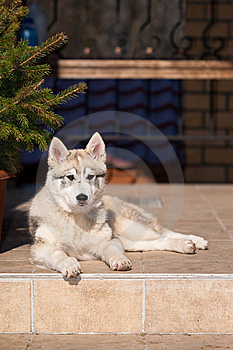 Dog Laika Royalty Free Stock Photo - Image: 9029665