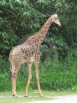 Giraffe Stock Image - Image: 9030301