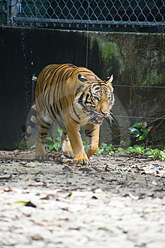 Sumatran Tiger Stock Photo - Image: 9031270